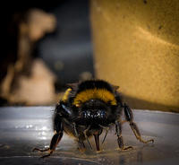 Feeding my bae bee some honey water. #bombus